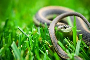 Serpent lying in the grass